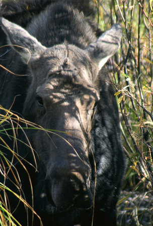 Hide-a-Moose - Grand Teton